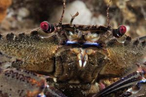 Velvet Swimming Crab (Necora Puber - Liocarcinus Puber), St Abbs, Berwickshire, Scotland, UK by Linda Pitkin
