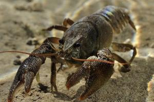 White Clawed Crayfish (Austropotamobius Pallipes) Underwater on Riverbed, River Leith, Cumbria, UK by Linda Pitkin