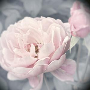 Belle Rose I by Linda Wood