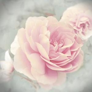 Belle Rose II by Linda Wood