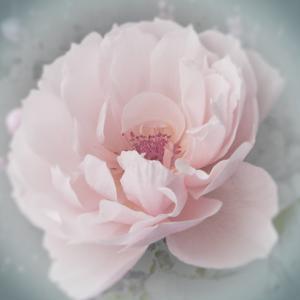Belle Rose III by Linda Wood