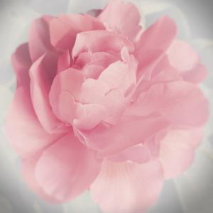 Belle Rose IV by Linda Wood