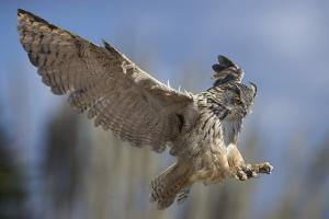 European Eagle Owl In Flight by Linda Wright