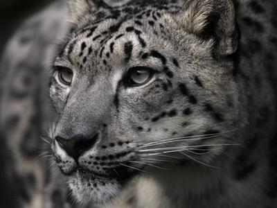 Snow Leopard by Linda Wright