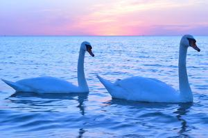 Swans by lindama
