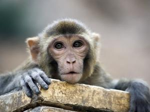 Monkey (Rhesus Macaque) at Monkey Temple, Galta by Lindsay Brown