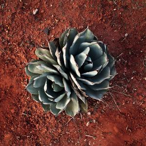 Succulent by Lindsay Daniels