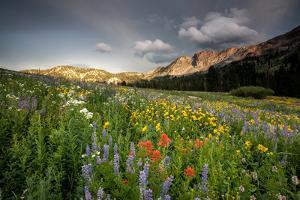 Wildflowers At Peak Season In Albion Basin by Lindsay Daniels
