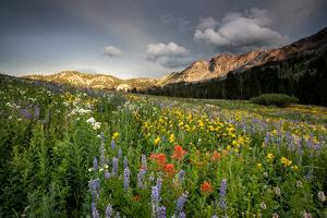 Wildflowers At Peak Season In Albion Basin by Lindsay Daniels