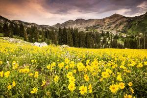 Wildflowers In Albion Basin Little Cottonwood Canyon, Utah by Lindsay Daniels