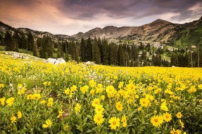 Wildflowers In Albion Basin Little Cottonwood Canyon, Utah