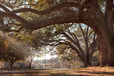 Empty Rustic Wooden Swing Hanging by Rope on Large Live Oak Tree Branch in the Countryside at a Far by Lindsay Helms