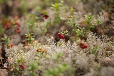 https://imgc.allpostersimages.com/img/posters/lingonberries-lichen-on-a-foreground_u-L-Q1EXR610.jpg?artPerspective=n