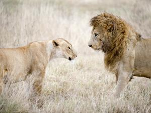 Lion and a Lioness Standing Face to Face in a Forest, Ngorongoro Crater, Ngorongoro, Tanzania