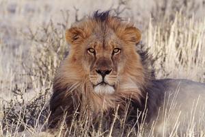 Lion Close-Up of Head, Facing Camera