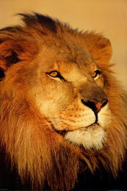 Lion Close Up