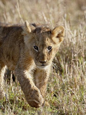 https://imgc.allpostersimages.com/img/posters/lion-cub-masai-mara-national-reserve-kenya-east-africa-africa_u-L-P91L670.jpg?p=0
