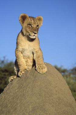 Lion Cub on Mound