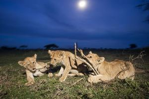 Lion Cubs at Night