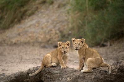 https://imgc.allpostersimages.com/img/posters/lion-cubs-panthera-leo-serengeti-national-park-tanzania_u-L-Q1GYLTP0.jpg?artPerspective=n