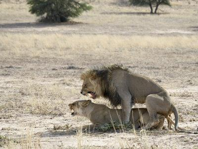 https://imgc.allpostersimages.com/img/posters/lion-mating-kgalagadi-transfrontier-park-south-africa_u-L-P7NO680.jpg?p=0