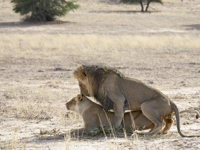 https://imgc.allpostersimages.com/img/posters/lion-mating-kgalagadi-transfrontier-park-south-africa_u-L-P7NO740.jpg?p=0
