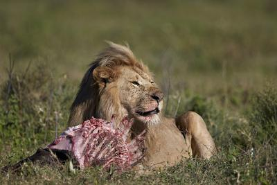 https://imgc.allpostersimages.com/img/posters/lion-panthera-leo-at-a-wildebeest-carcass_u-L-PWFFEJ0.jpg?artPerspective=n