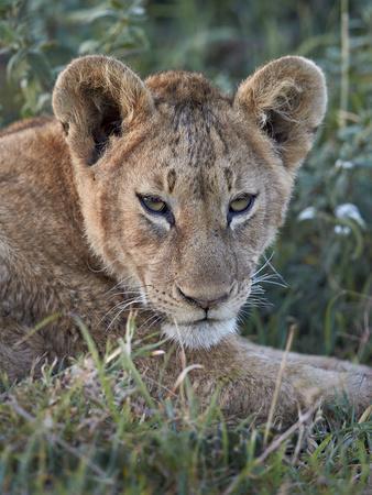 https://imgc.allpostersimages.com/img/posters/lion-panthera-leo-cub-ngorongoro-crater-tanzania-east-africa-africa_u-L-PWFRWY0.jpg?p=0