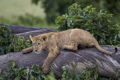 https://imgc.allpostersimages.com/img/posters/lion-panthera-leo-cub-on-a-downed-tree-trunk-in-the-rain_u-L-PWFEV70.jpg?p=0