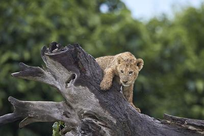 https://imgc.allpostersimages.com/img/posters/lion-panthera-leo-cub-on-a-downed-tree-trunk-in-the-rain_u-L-PWFIWZ0.jpg?p=0