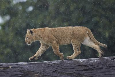 https://imgc.allpostersimages.com/img/posters/lion-panthera-leo-cub-on-a-downed-tree-trunk-in-the-rain_u-L-PWFJL30.jpg?p=0