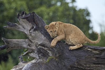 https://imgc.allpostersimages.com/img/posters/lion-panthera-leo-cub-on-a-downed-tree-trunk-in-the-rain_u-L-PWFKC30.jpg?p=0