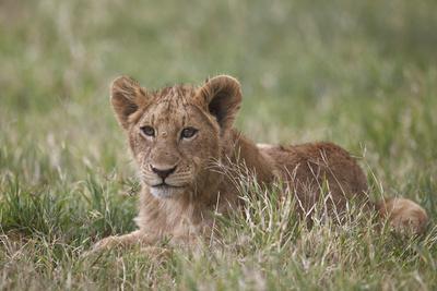 https://imgc.allpostersimages.com/img/posters/lion-panthera-leo-cubs-ngorongoro-crater-tanzania-east-africa-africa_u-L-PWFFG70.jpg?p=0
