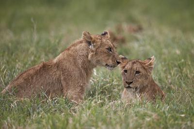 https://imgc.allpostersimages.com/img/posters/lion-panthera-leo-cubs-ngorongoro-crater-tanzania-east-africa-africa_u-L-PWFGU30.jpg?p=0