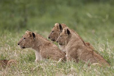 https://imgc.allpostersimages.com/img/posters/lion-panthera-leo-cubs-ngorongoro-crater-tanzania-east-africa-africa_u-L-PWFIVN0.jpg?p=0