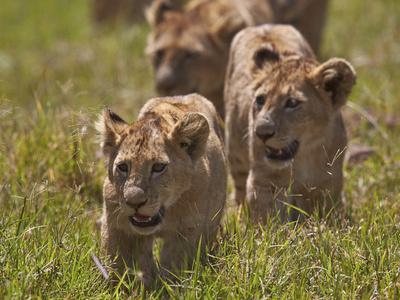 https://imgc.allpostersimages.com/img/posters/lion-panthera-leo-cubs-ngorongoro-crater-tanzania-east-africa-africa_u-L-PWFRV60.jpg?p=0