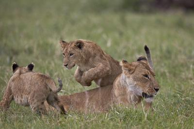 https://imgc.allpostersimages.com/img/posters/lion-panthera-leo-cubs-playing-ngorongoro-crater-tanzania-east-africa-africa_u-L-PWFDD60.jpg?p=0