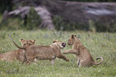 https://imgc.allpostersimages.com/img/posters/lion-panthera-leo-cubs-playing-ngorongoro-crater-tanzania-east-africa-africa_u-L-PWFG4J0.jpg?p=0