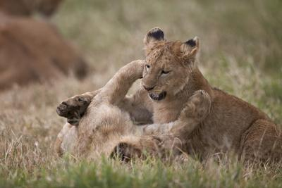 https://imgc.allpostersimages.com/img/posters/lion-panthera-leo-cubs-playing-ngorongoro-crater-tanzania-east-africa-africa_u-L-PWFG4V0.jpg?p=0