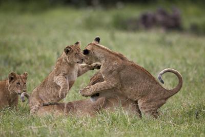 https://imgc.allpostersimages.com/img/posters/lion-panthera-leo-cubs-playing-ngorongoro-crater-tanzania-east-africa-africa_u-L-PWFHG50.jpg?p=0
