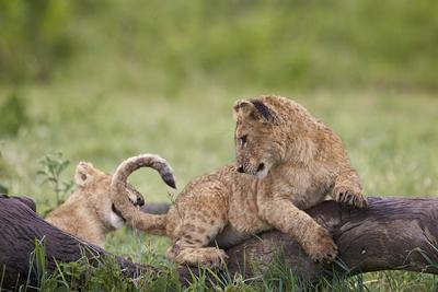 https://imgc.allpostersimages.com/img/posters/lion-panthera-leo-cubs-playing-ngorongoro-crater-tanzania-east-africa-africa_u-L-PWFHI50.jpg?p=0