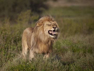 https://imgc.allpostersimages.com/img/posters/lion-panthera-leo-demonstrating-the-flehmen-response_u-L-PWFRWI0.jpg?p=0
