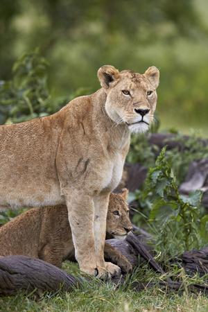 https://imgc.allpostersimages.com/img/posters/lion-panthera-leo-female-and-cub-ngorongoro-crater-tanzania-east-africa-africa_u-L-PWFE4J0.jpg?p=0