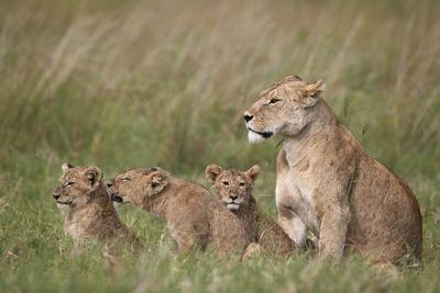 https://imgc.allpostersimages.com/img/posters/lion-panthera-leo-female-and-three-cubs-ngorongoro-crater-tanzania-east-africa-africa_u-L-PWFFF70.jpg?artPerspective=n