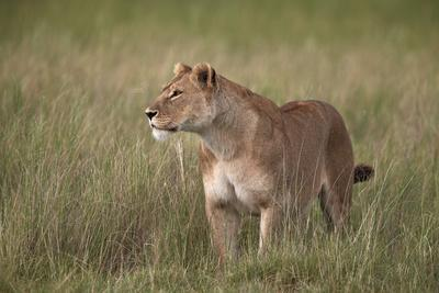 https://imgc.allpostersimages.com/img/posters/lion-panthera-leo-female-lioness-in-tall-grass_u-L-PWFETV0.jpg?p=0