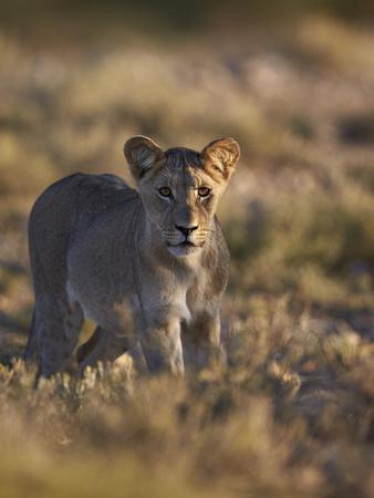 https://imgc.allpostersimages.com/img/posters/lion-panthera-leo-immature-kgalagadi-transfrontier-park_u-L-PWFBYA0.jpg?p=0