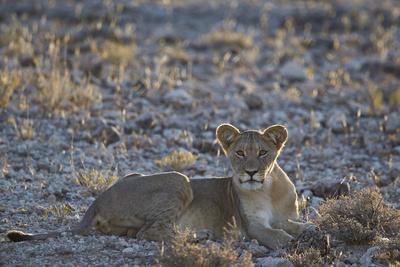 https://imgc.allpostersimages.com/img/posters/lion-panthera-leo-immature-kgalagadi-transfrontier-park_u-L-PWFI7Z0.jpg?p=0