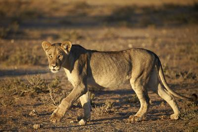 https://imgc.allpostersimages.com/img/posters/lion-panthera-leo-immature-kgalagadi-transfrontier-park_u-L-PWFJKR0.jpg?p=0