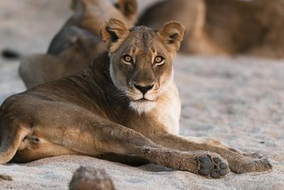 https://imgc.allpostersimages.com/img/posters/lion-panthera-leo-mala-mala-game-reserve-south-africa-africa_u-L-PQ8O2B0.jpg?p=0