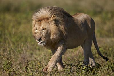 https://imgc.allpostersimages.com/img/posters/lion-panthera-leo-ngorongoro-conservation-area-serengeti-tanzania-east-africa-africa_u-L-PWFEQ70.jpg?p=0